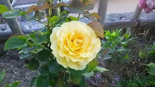 黄薔薇.JPG